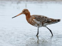 Black-tailed Godwit_J4X6289