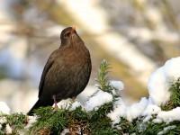 Blackbird _M2A2188