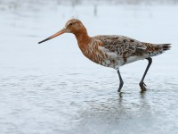 Black=tailed Godwit _J4X6290