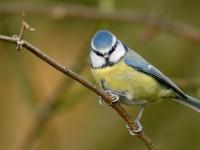 Blue Tit _J4X7116