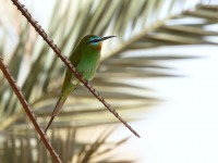 Blue-cheeked Bee-eater_J4X0953