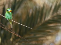 Blue-cheeked Bee-eater_J4X1195