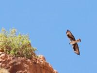Bonelli's Eagle _J4X9528