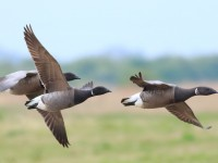 Brent Geese _M2A8964