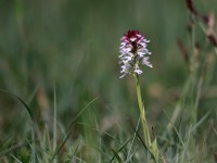 Burnt-tip Orchid _M2A0021