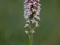 Burnt-tip Orchid _M2A9963_1