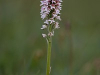 Burnt-tip Orchid _M2A9986_1