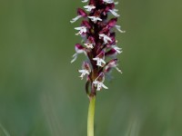 Burnt-tip Orchid_M2A0047