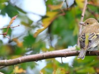 Chaffinch Low RES _M2A0845