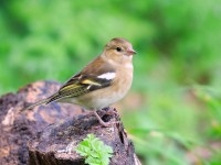 Chaffinch Low Res _M2A0810