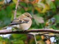Chaffinch Low Res _M2A0840