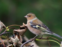 Chaffinch Low Res _M2A0986
