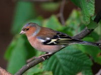 Chaffinch Low Res _M2A1102