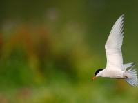 Common Tern _J4X3315