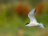 Common Tern _J4X3317