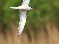 Common Tern _M2A8097