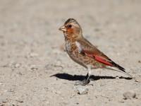 Crimson-winged Finch_J4X3904