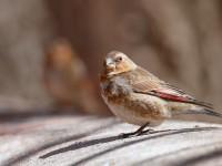 Crimson-winged Finch_J4X4164