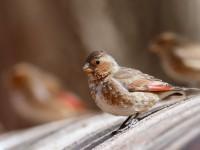 Crimson-winged Finch_J4X4172
