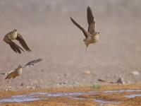 Crowned Sandgrouse_J4X1282