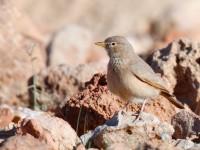 Desert Lark _J4X9023