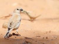 Desert Sparrow female _J4X0173