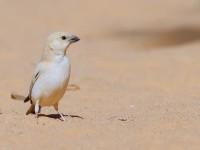 Desert Sparrow female_J4X0125