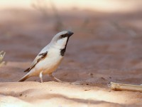 Desert Sparrow male _J4X0199