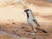 Desert Sparrow male_J4X0073