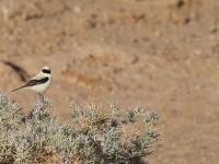 Desert Wheatear _J4X9952