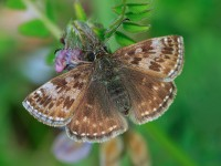 Dingy Skipper _M2A9566
