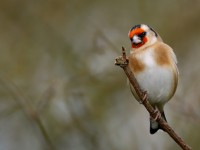 Goldfinch _J4X7076