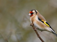 Goldfinch _J4X7077