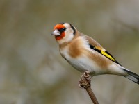 Goldfinch _J4X7087