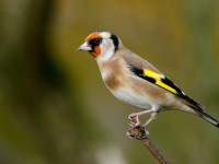 Goldfinch _J4X7198