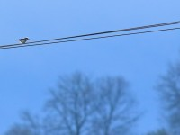Great Grey Shrike _M2A1238