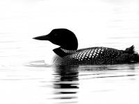Great Northern Diver _J4X0299