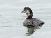 Great Northern Diver _M2A2084