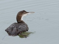 Great Northern Diver _M2A2299