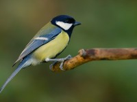 Great Tit _J4X6636