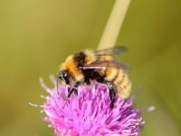 Great Yellow Bumbblebee_S1Q9494