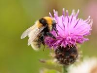 Great Yellow Bumblebee _S1Q9384