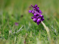 Green-winged Orchid _M2A7653