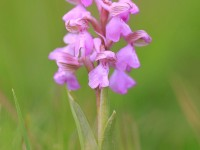Green-winged Orchid (pink variety) _M2A7552