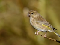 Greenfinch _J4X7104