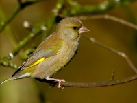 Greenfinch _J4X7222