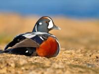 Harlequin Duck _J4X7121