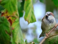House Sparrow LOW Res _M2A0789