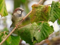 House Sparrow Low Res _M2A0791