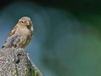 House Sparrow _J4X3368